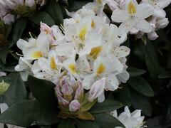 Pěnišník 'Madame Masson' - Rhododendron (T) 'Madame Masson'
