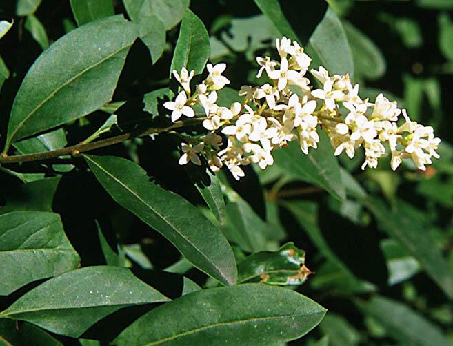 Ptačí zob obecný - Ligustrum vulgare