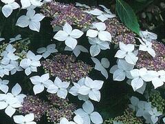 Hortenzie velkolistá 'Lanarth White' - Hydrangea macrophylla 'Lanarth White'