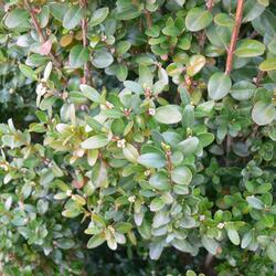 Zimostráz obecný 'Faulkner' - Buxus microphylla 'Faulkner'