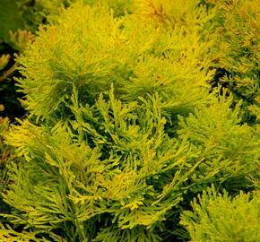 Zerav západní 'Amber Glow' - Thuja occidentalis 'Amber Glow'