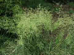 Metlice trsnatá 'Pálava' - Deschampsia caespitosa 'Pálava'