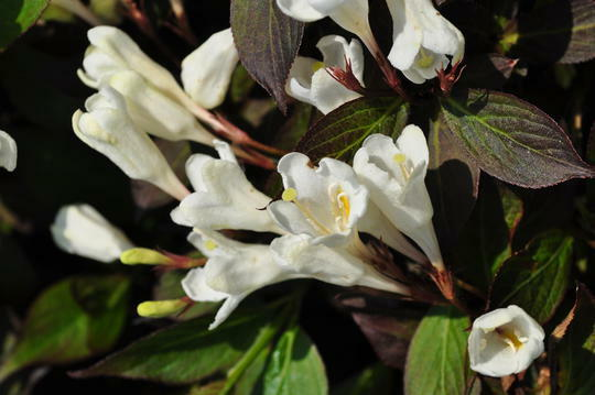 Vajgélie 'Ebony and Ivory' - Weigela 'Ebony and Ivory'