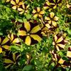 Petúnie 'Amore Fiesta' - Petunia hybrida 'Amore Fiesta'