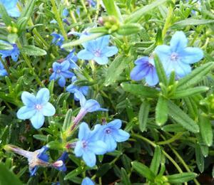 Kamejka 'Blue Bird' - Lithodora diffusa 'Blue Bird'