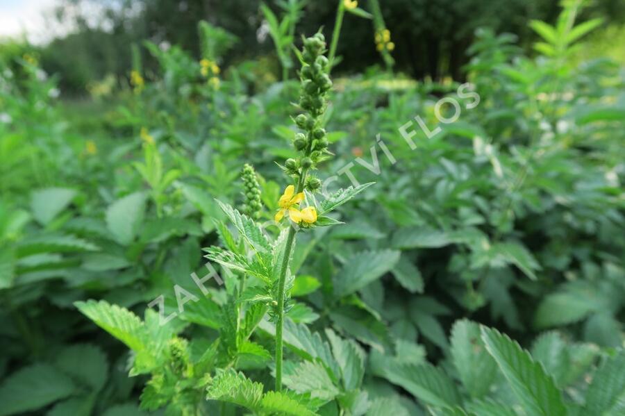 Řepík lékařský - Agrimonia eupatoria