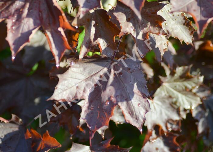 Javor mléč 'Crimson King' - Acer platanoides 'Crimson King'