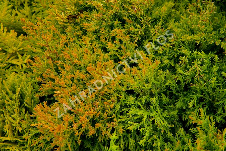 Zerav západní 'Rheingold' - Thuja occidentalis 'Rheingold'