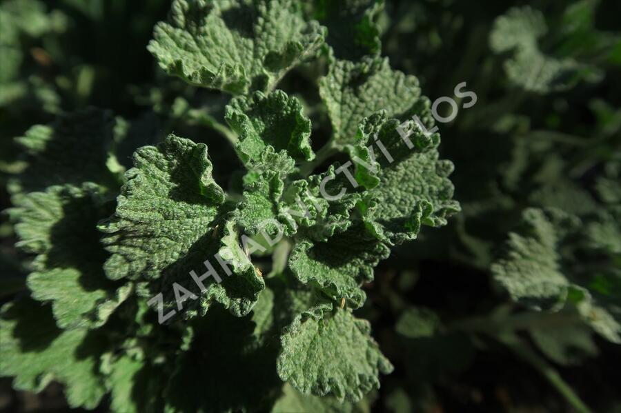 Jablečník obecný - Marrubium vulgare
