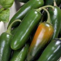 Paprika chilli 'Jalapeňo' - Capsicum annuum 'Jalapeňo'