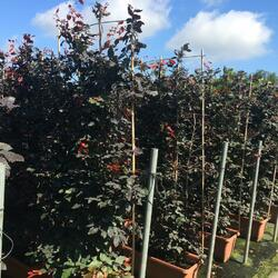 Buk lesní 'Atropunicea' - Fagus sylvatica 'Atropunicea'