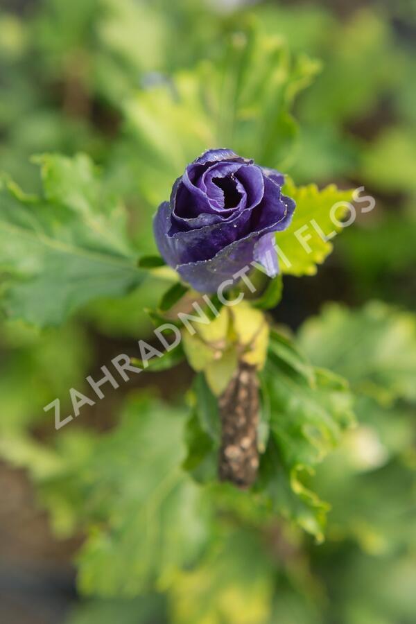 Ibišek syrský 'Azurri' - Hibiscus syriacus 'Azurri'