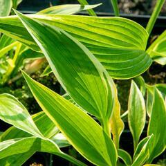 Bohyška 'Aureomarginata' - Hosta montana 'Aureomarginata'