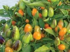 Paprika chilli 'Foxta' - Capsicum annuum 'Foxta'