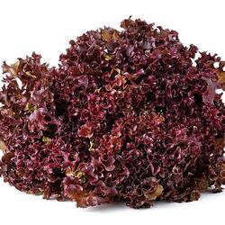 Salát listový 'Nikolaj' - Lactuca sativa var. crispa 'Nikolaj'