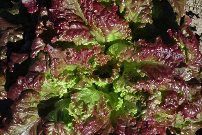 Salát hlávkový 'Rosemarry' - Lactuca sativa var. capitata 'Rosemarry'