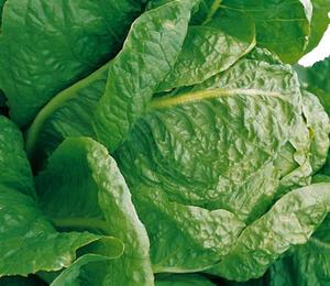 Salát římský 'Galander' - Lactuca sativa var. longifolia 'Galander'