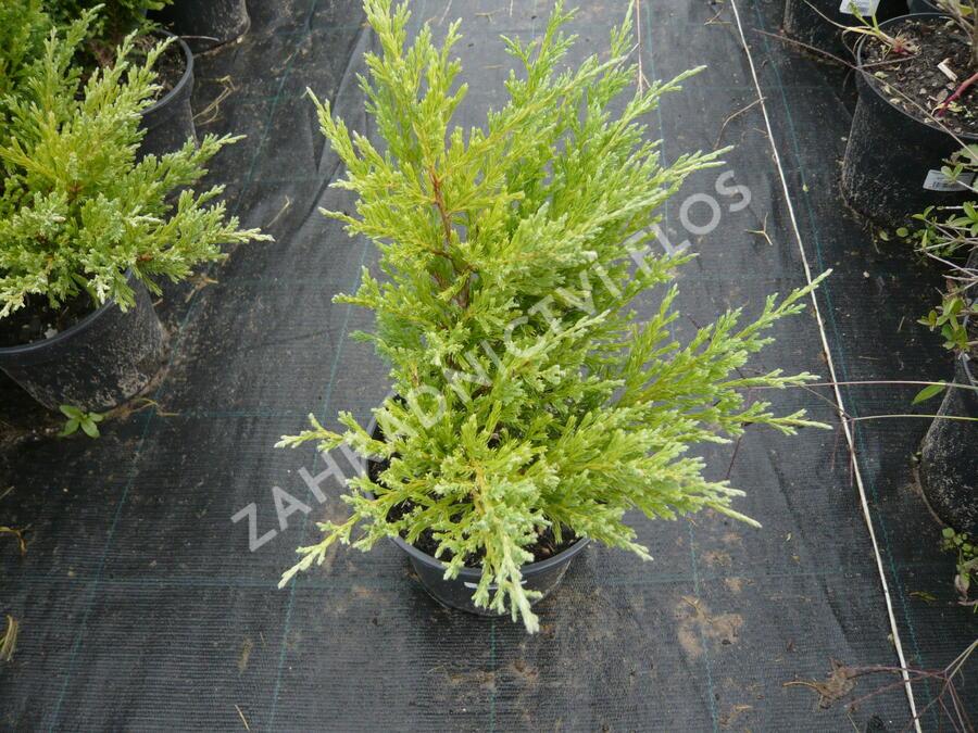Jalovec polehlý 'Andorra Compact' - Juniperus horizontalis 'Andorra Compact'