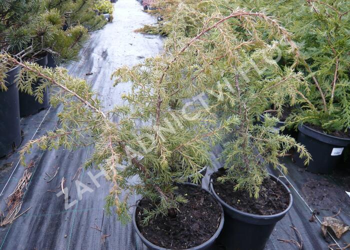 Jalovec obecný 'Wallis' - Juniperus communis 'Wallis'