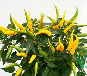 Paprika převislá 'Volante Mild Yellow' F1 - Capsicum annuum 'Volante Mild Yellow' F1