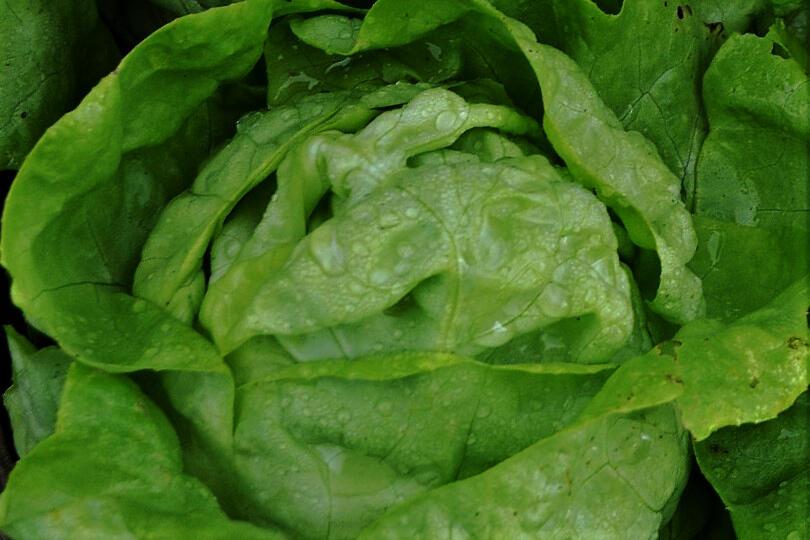 Salát hlávkový 'Lento' - Lactuca sativa var. capitata 'Lento'