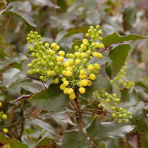 Mahonie cesmínolistá 'Apollo' - Mahonia aquifolium 'Apollo'