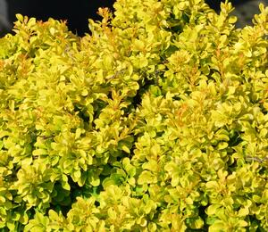 Dřišťál Thunbergův 'Tiny Gold' - Berberis thunbergii 'Tiny Gold'
