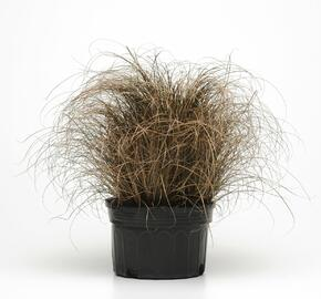 Ostřice chocholatá 'Bronco' - Carex comans 'Bronco'
