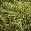 Ostřice chocholatá 'Amazon Mist' - Carex comans 'Amazon Mist'