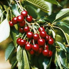 Třešeň pozdní - chrupka 'Hedelfingenská' - Prunus avium 'Hedelfingenská'