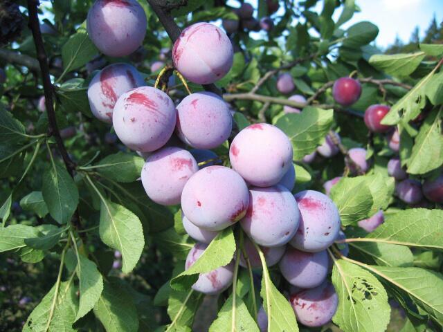 Renklóda - středně raná 'Althanova' - Prunus domestica 'Althanova'
