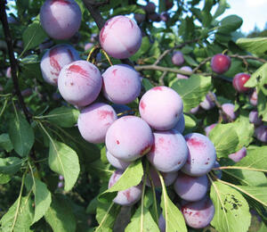 Renklóda středně raná 'Althanova' - Prunus domestica 'Althanova'