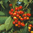 Třešeň středně raná - chrupka 'Napoleonova' - Prunus avium 'Napoleonova'