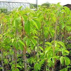 Přísavník pětilistý, loubinec - Parthenocissus quinquefolia