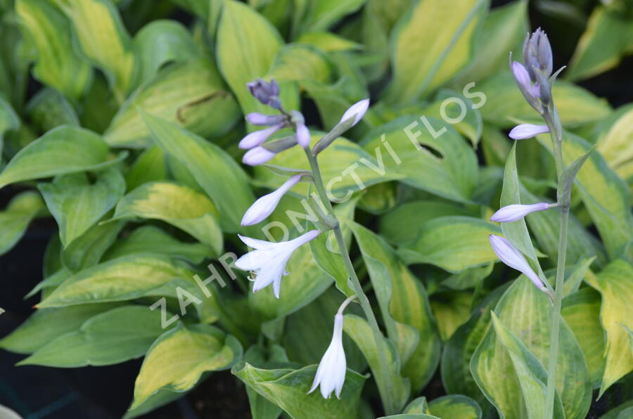 Bohyška 'Color Glory' - Hosta 'Color Glory'