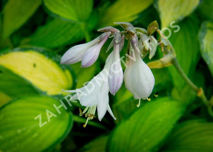 Bohyška 'Paul's Glory' - Hosta 'Paul's Glory'
