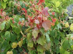 Přísavník trojcípý 'Veitchii' - Parthenocissus tricuspidata 'Veitchii'