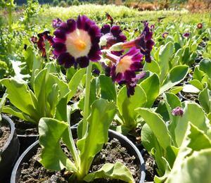 Prvosenka 'Exhibition Rot' - Primula x pubescens 'Exhibition Rot'