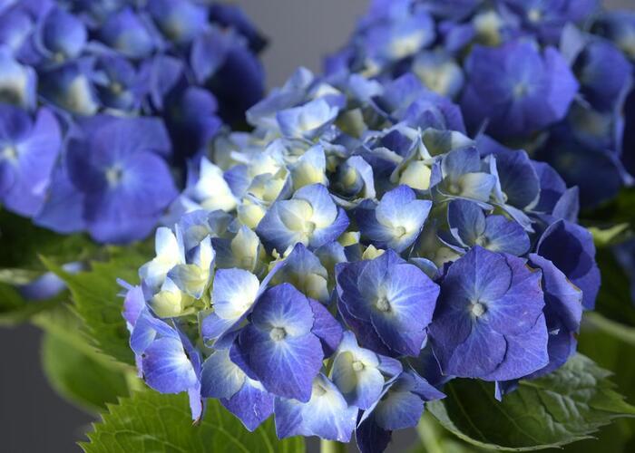 Hortenzie velkolistá 'Adria' - Hydrangea macrophylla 'Adria'