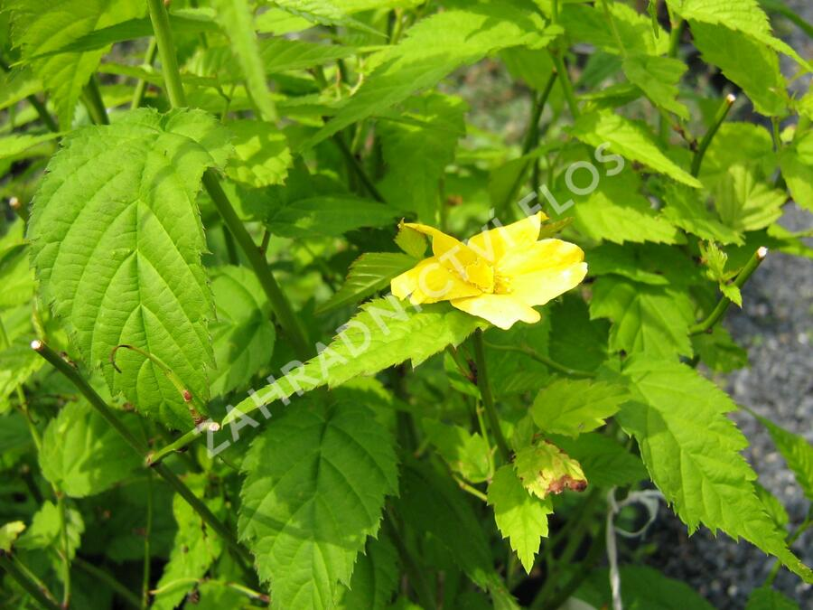 Zákula japonská 'Golden Guinea' - Kerria japonica 'Golden Guinea'