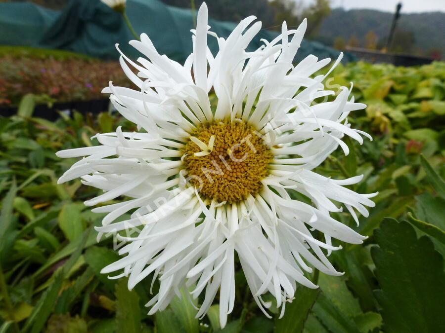 Kopretina největší 'Snowdrift' - Leucanthemum maximum 'Snowdrift'