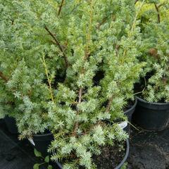 Jalovec čínský 'Blue Alps' - Juniperus chinensis 'Blue Alps'