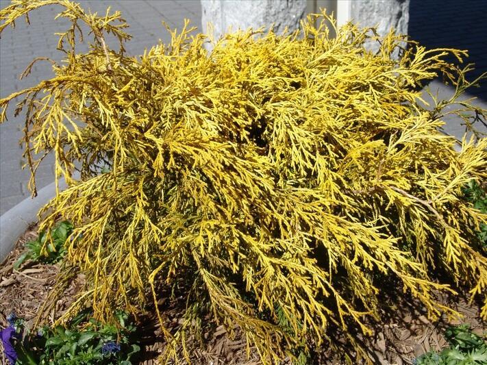 Cypřišek hrachonosný 'Golden Mop' - Chamaecyparis pisifera 'Golden Mop'