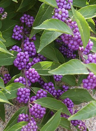 Krásnoplodka vidličnatá 'Issai' - Callicarpa dichotoma 'Issai'