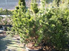 Borovice pyrenejská - Pinus uncinata