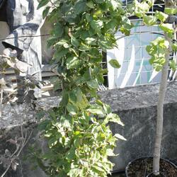 Dřín lékařský - Cornus officinalis