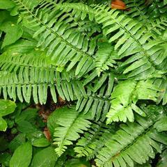 Kapradina acrostichoides - Polystichum acrostichoides