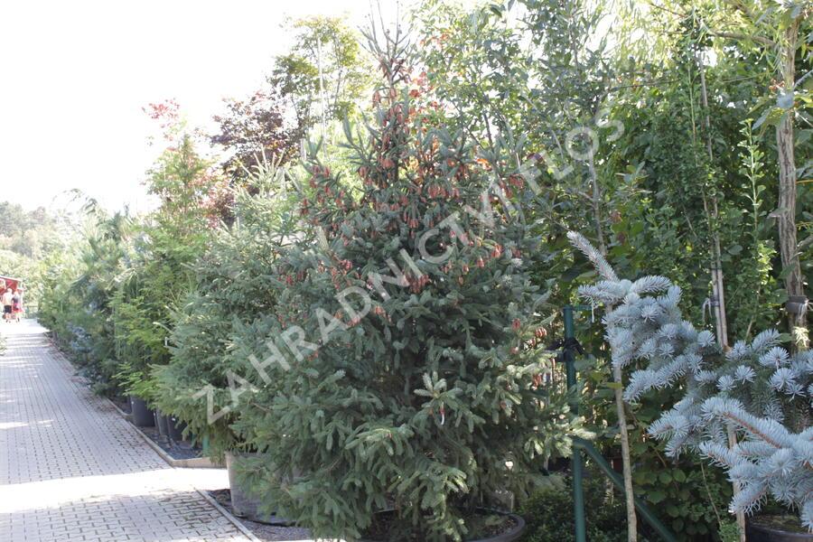 Smrk pichlavý 'Glauca' - Picea engelmannii 'Glauca'