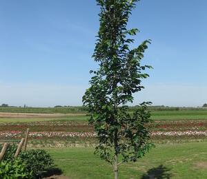 Parotie perská 'Vanessa' - Parrotia persica 'Vanessa'