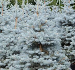 Smrk pichlavý - Picea pungens